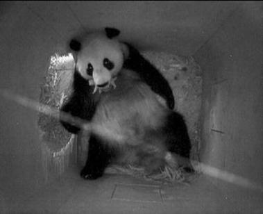 ,阳阳口中含着小熊猫.-维也纳动物园诞下熊猫幼崽 欧洲25年来首次