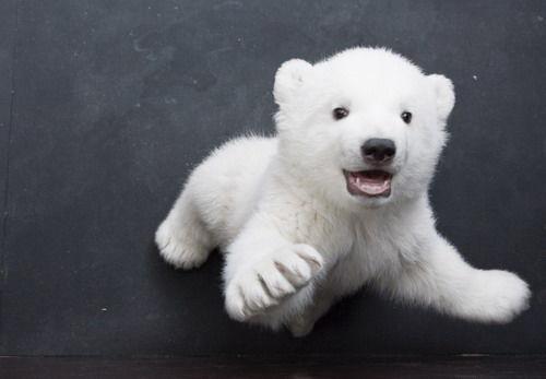 被妈妈遗弃的小北极熊
